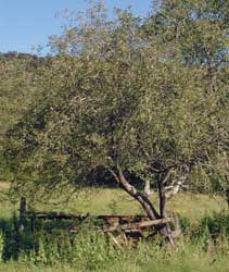 This old non-productive apple tree was discovered growing in a farm fence row. With some care, it was turned into a deer magnet within three years.