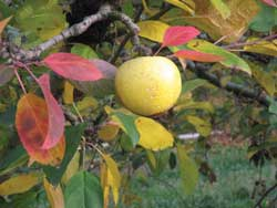 Apples grow on new wood, so the goal in restoring old apple trees is to manage and prune for new growth.
