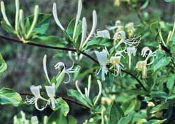 Search for wild patches of honeysuckle in the spring when it is blooming. The blossoms make it easy to find.